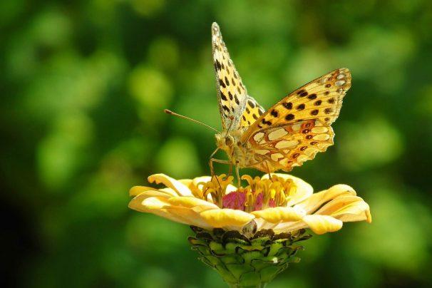butterfly, flower, pollen