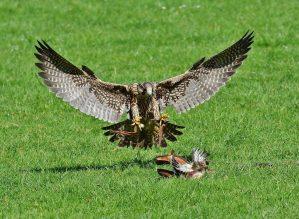 falcon, wildpark poing, predator
