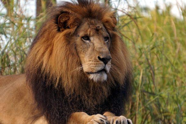 fiera, king, leon