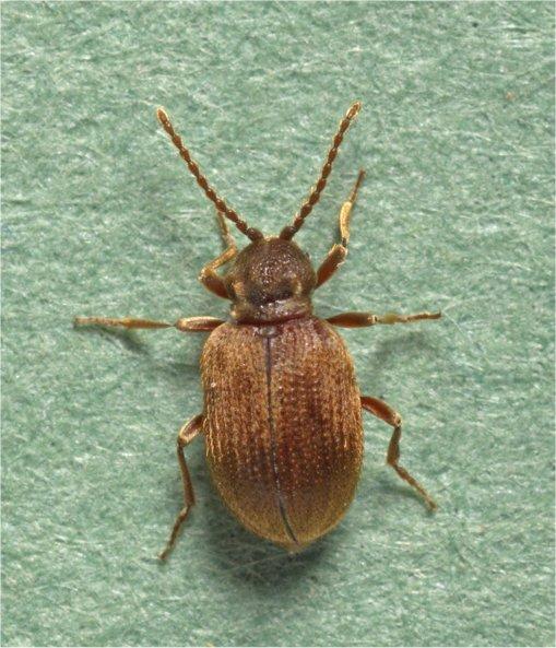 Ptinus tectus