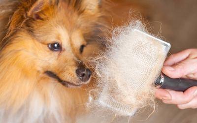 Comment limiter la perte de poils chez votre chien ?
