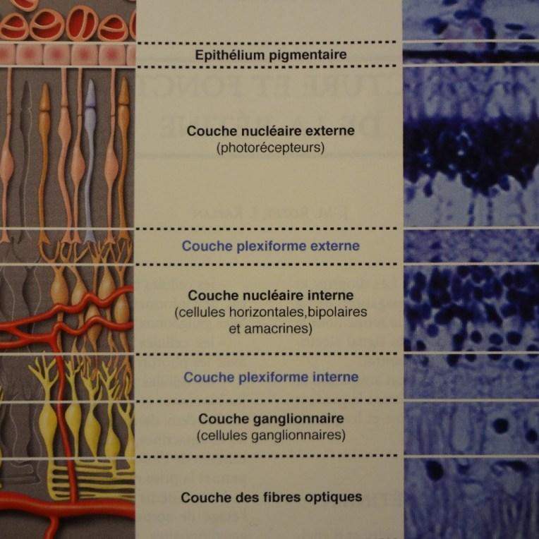 fig.1: COUPE DE RETINE (in J.L. DUFIER ET KAPLAN, ŒIL ET GENETIQUE MASSON Edit 2005)