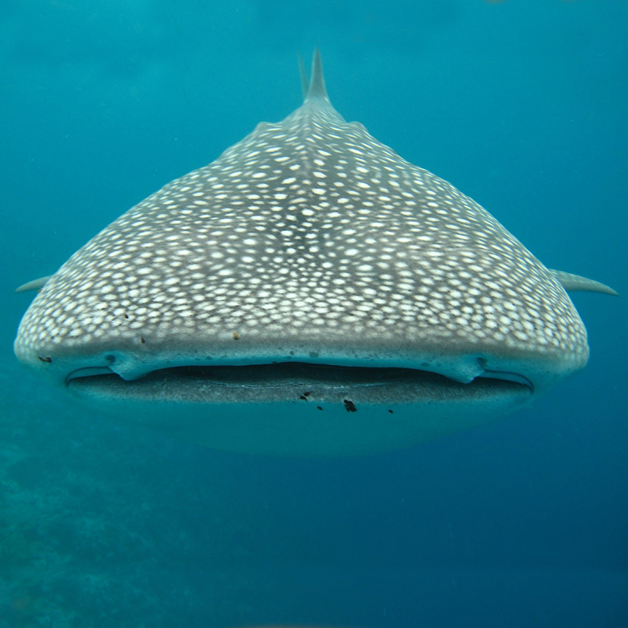diving in galapagos whaleshark