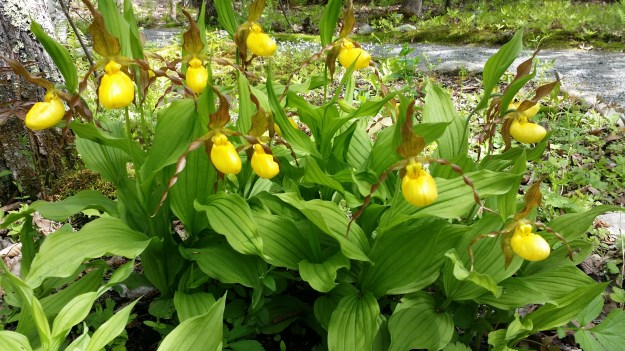 Yellow lady's slippers in Acadia National Park