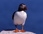 Atlantic puffins are listed as threatened in Maine