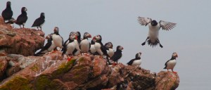 Atlantic puffins aren't visible from Acadia National Park
