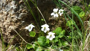 Northern white violet