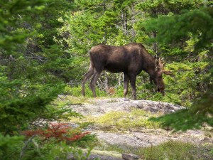 moose in acadia national park