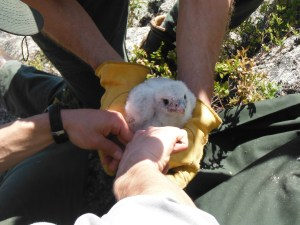 Banding of a peregrine falcon chick