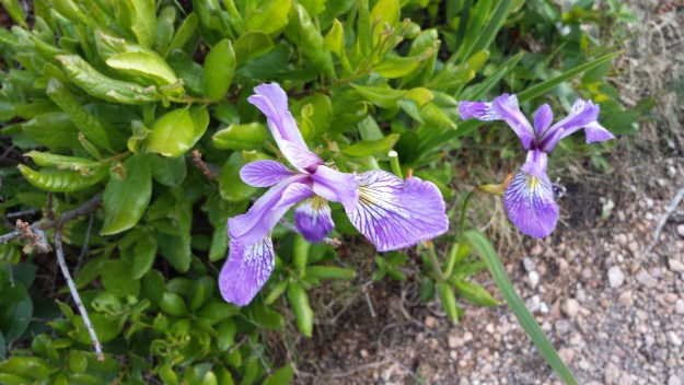Purple iris is a beautiful find along the Ship Harbor Trail in Acadia National Park.