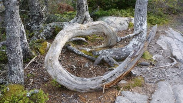 Twisting tree stump off the Ship Harbor Trail in Acadia National Park.