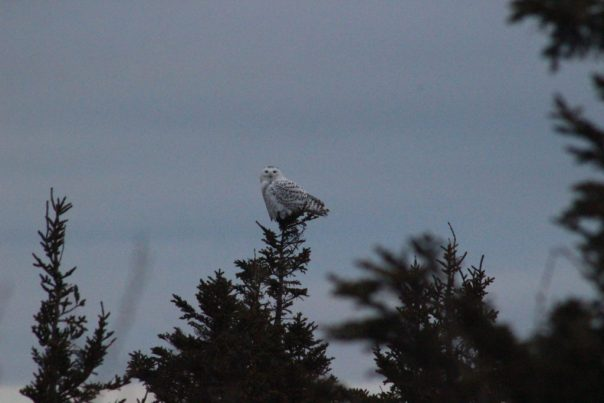 Snowy owl on Cadillac Mountain in Acadia National Park