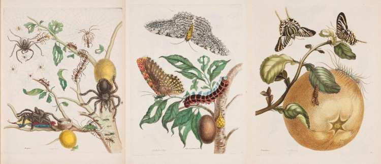 María Sibylla Merian y su admiración: los insectos