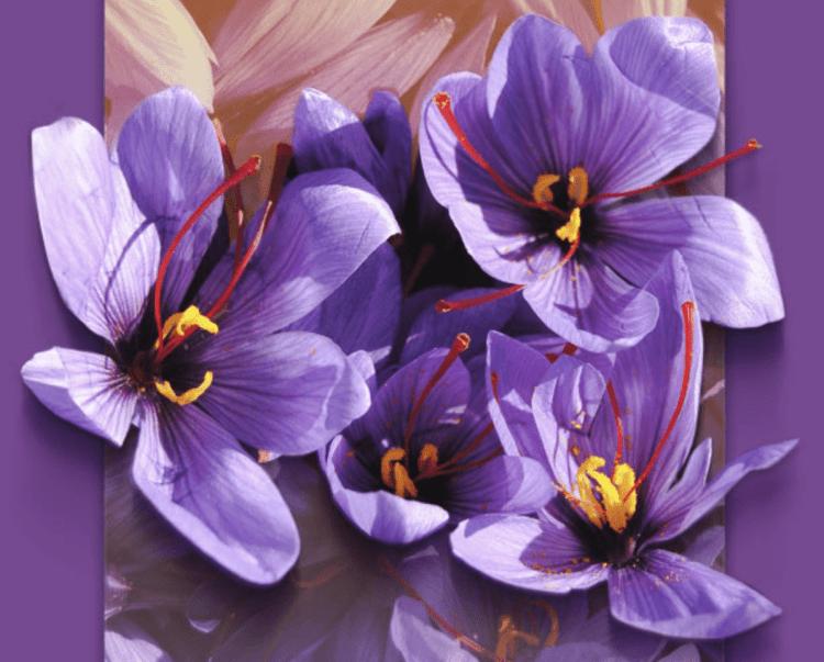 El azafrán, una flor con embrujo
