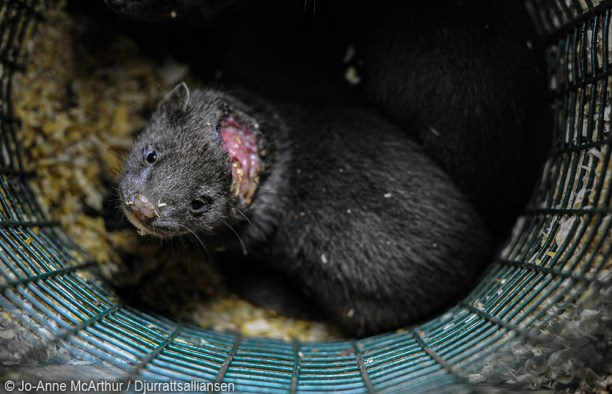 photo of injured mink in filthy cage