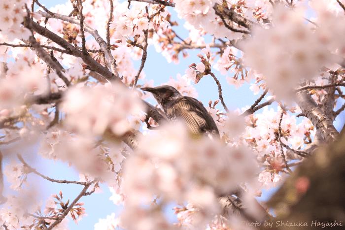【Photo Album】桜 in 背割提@京都府八幡市 & 近所   Acca's Website