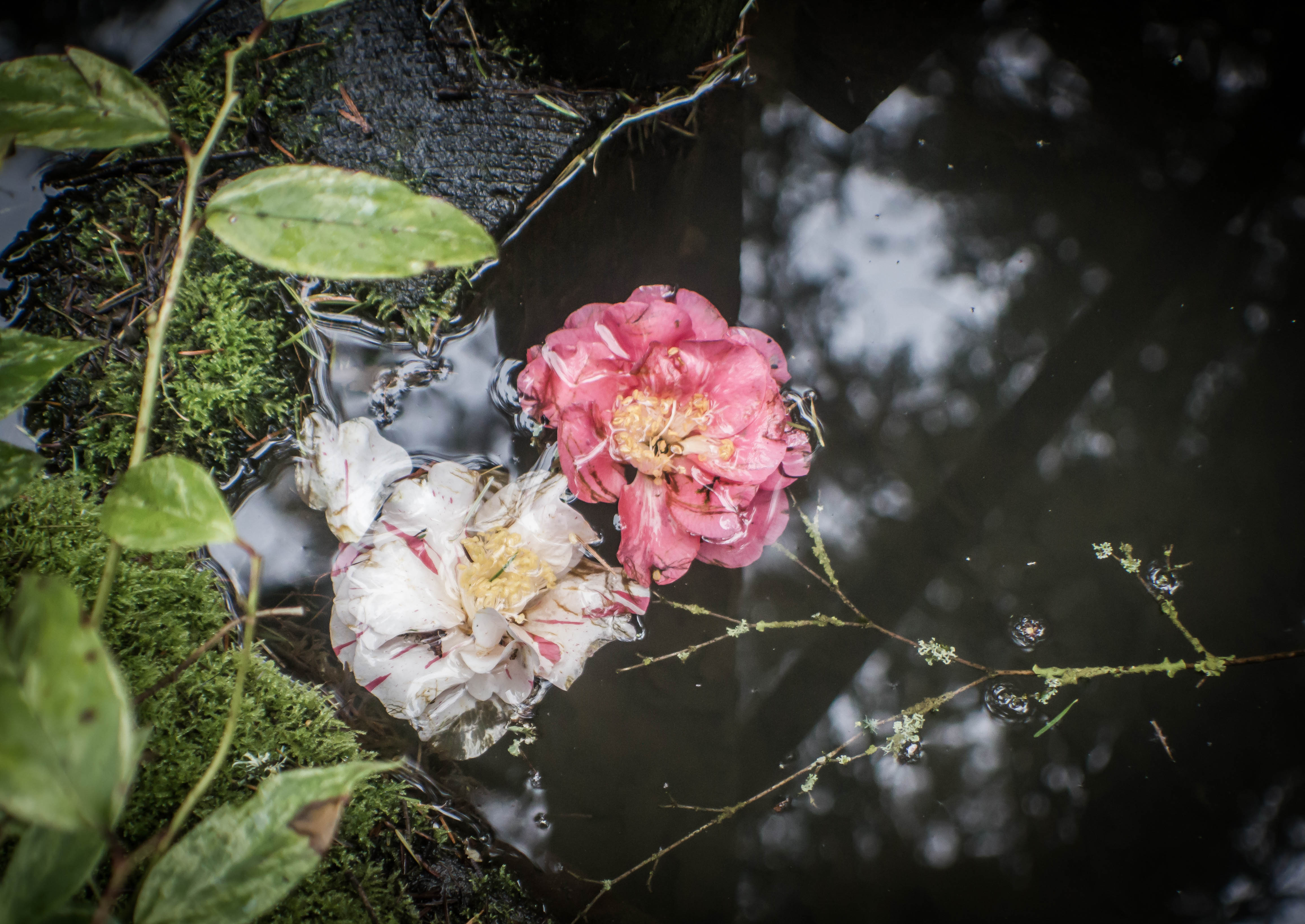 blossoms in water-1