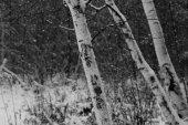 Birch Dreams