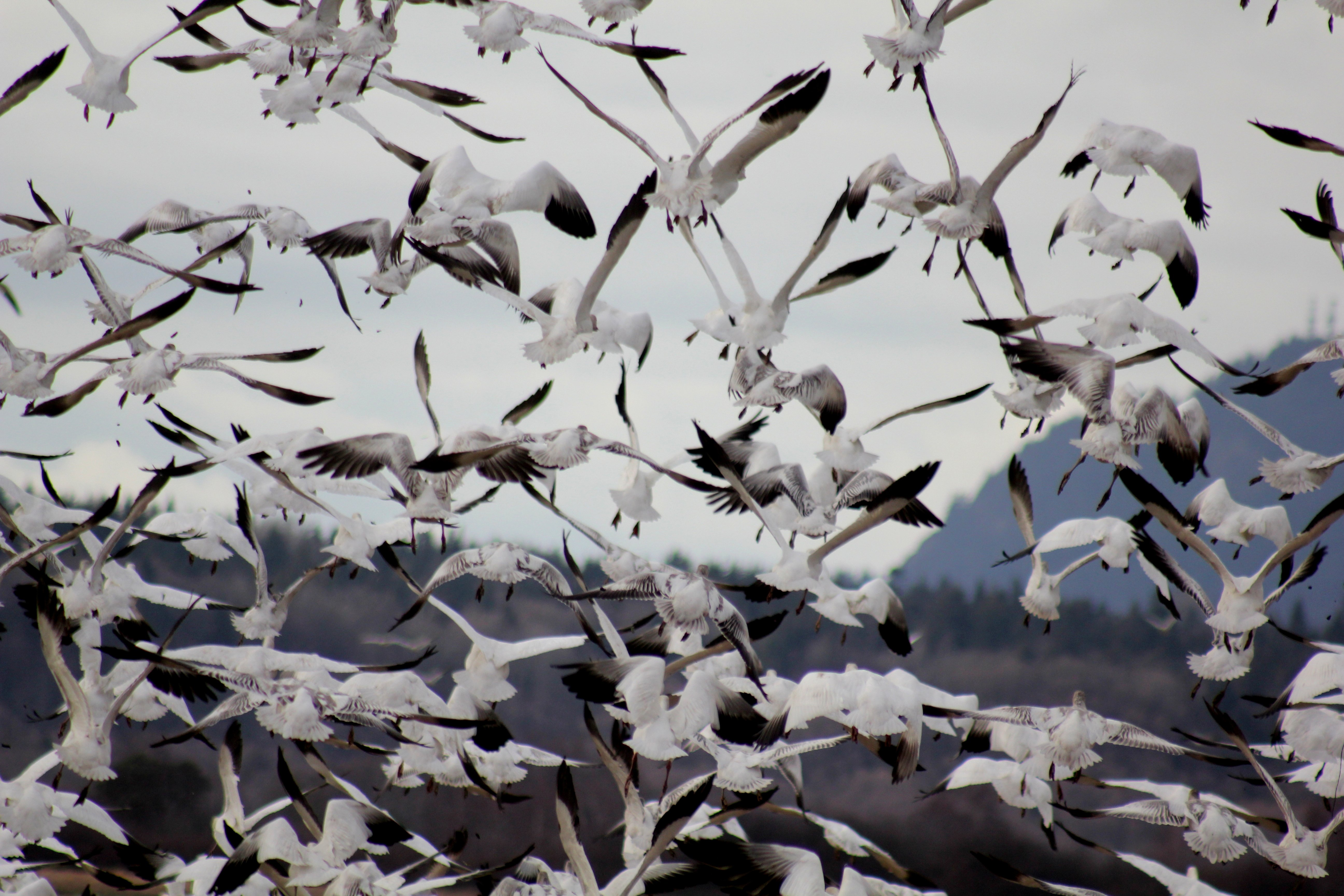 Snow geese lift off from a field near La Conner. They winter in the area by the thousands.