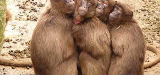 síndrome de Bardet-Biedl, macacos rhesus