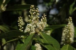 Artesanía Bejarano laurel-tree-300x200 El Laurel. Noticias