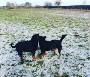 Mowgli and Marnie Rotties playing in the snow