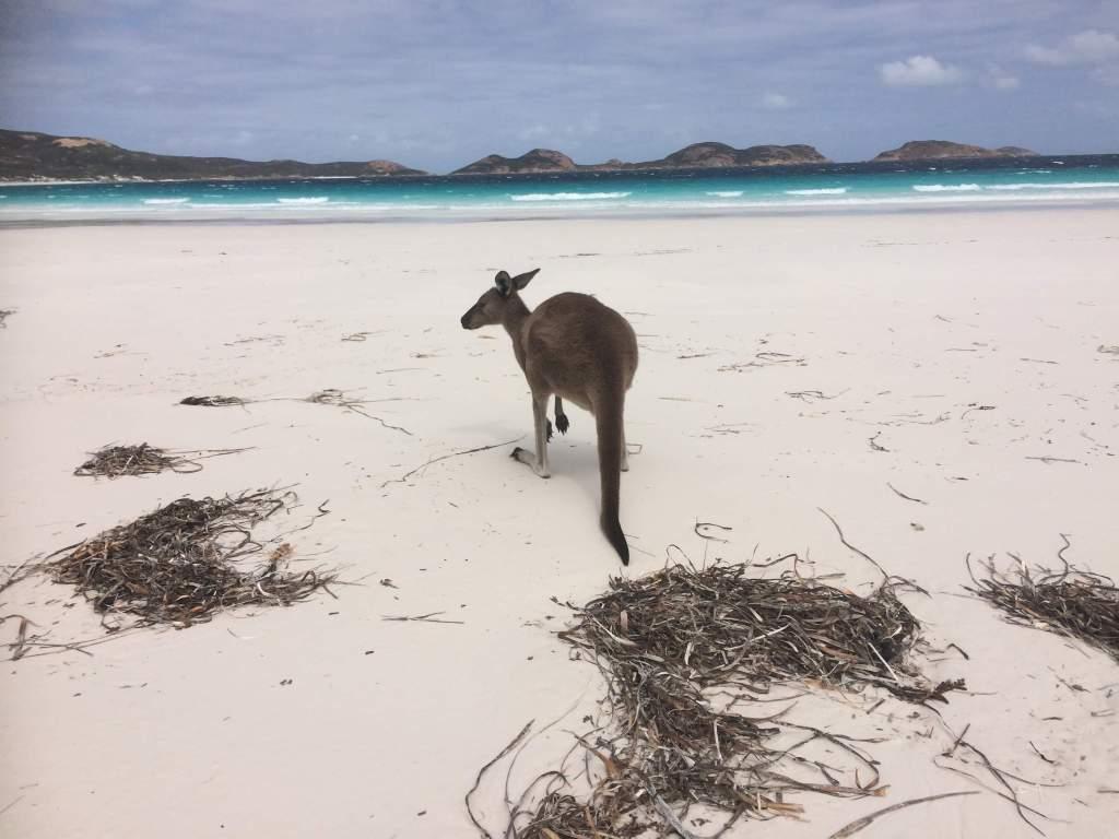 kangaroo in Australia on the beach