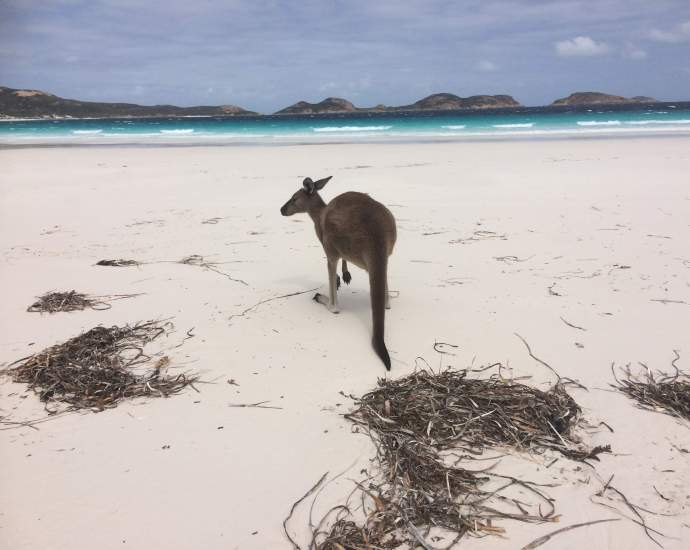 kangaroo in Australia on the beach