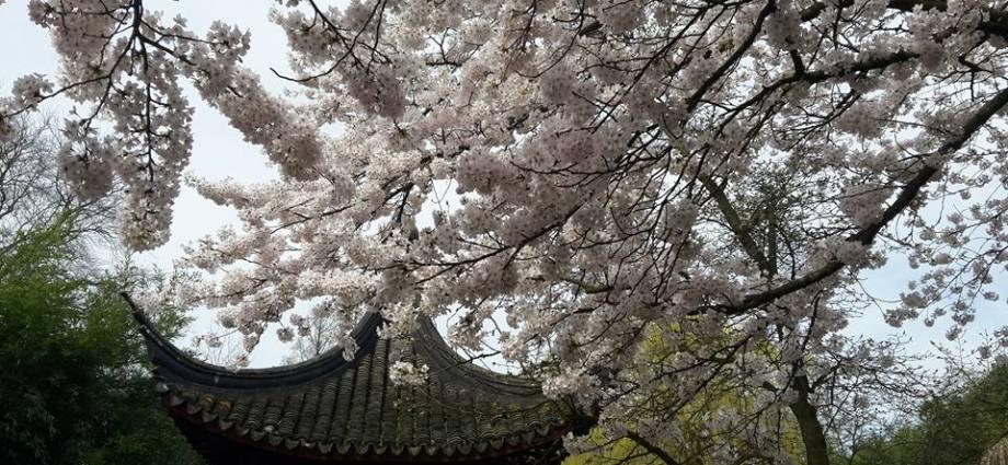japan blossom