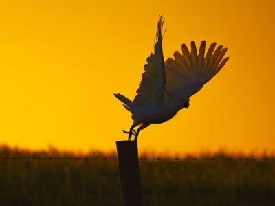 australia cockatoo