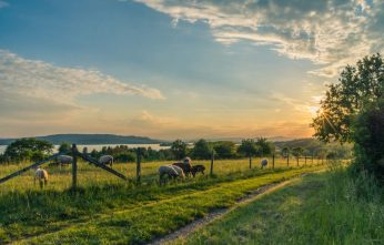 lake-constance-sheep-pasture-sheep-blue-158179 (1)