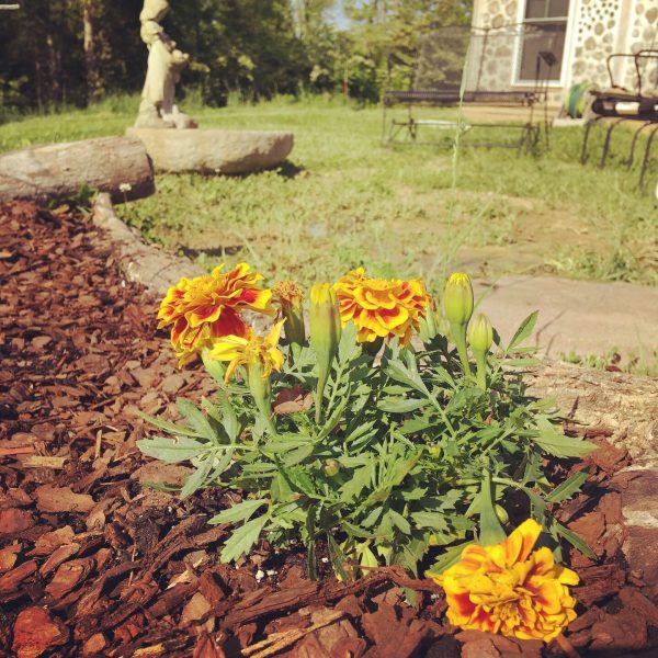 orange and yellow marigolds