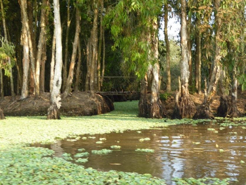 Mor mangroves
