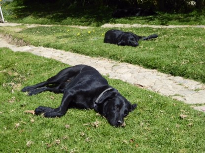 Lazy dogs