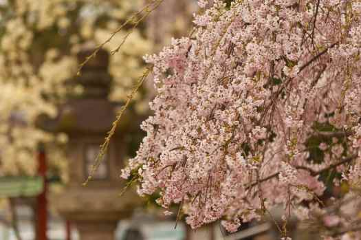 Japan-cherry-blossoms-small-luxury-hotels-of-the-world