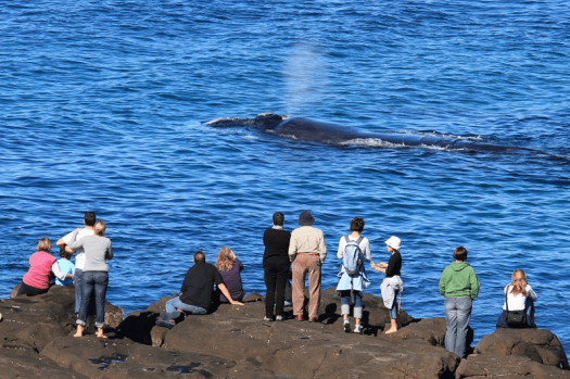 Image-of-Australia-nsw-whales-watching