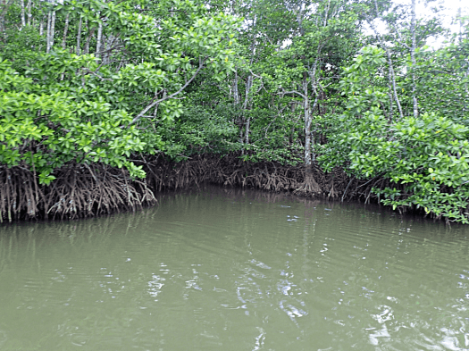 image-of-mangrove-forest-in-palawan-philippines