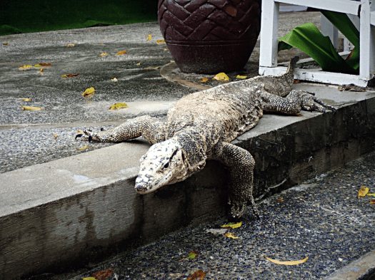 image-of-monitor-lizard-at-an-reco-resort-in-palawan-philippines