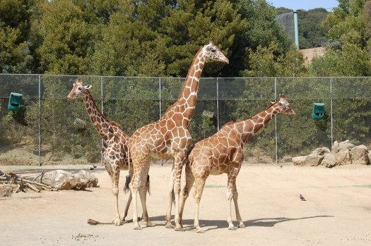 Usa-oakland-zoo-giraffs-credit-eugenia-and-julian