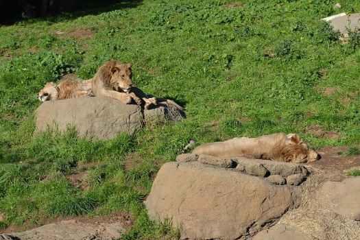 Usa-oakland-zoo-lion-credit-oleg-alexandrov