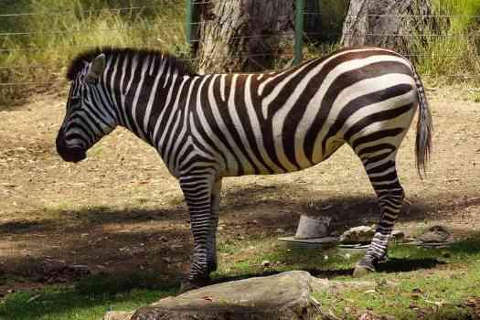 Usa-oakland-zoo-zebra-credit-allie-caulfield