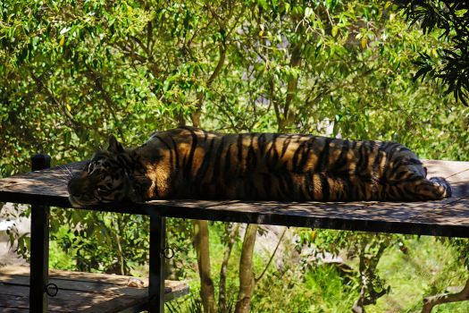 Usa-oakland-zoo-tiger-credit-allie-caulfield