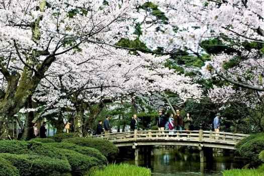 cherry-blossoms-in-kanazawa-japan