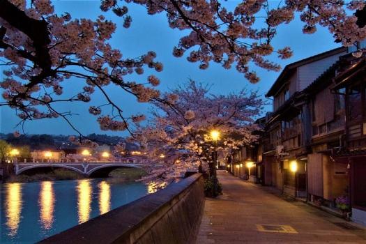 cherry-blossoms-lining-the-river-banks-of-kanazawa-japan