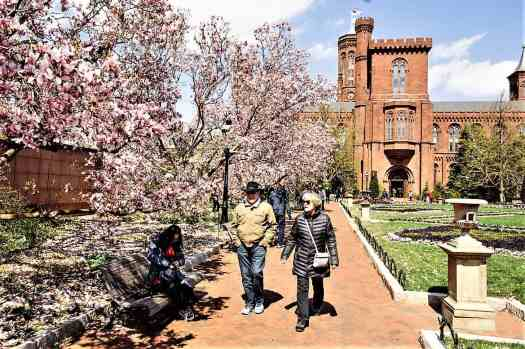 strolling-near-smithsoniancastle-with-cherry-trees-blooming