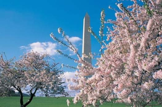 washington-minumnet-surrounded-by-cherry-blossoms