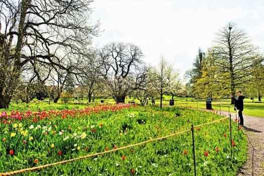 tulips-blooming-at-lund-botantical-gardens