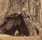 New York Times Article on the Pioneer Cabin Tree