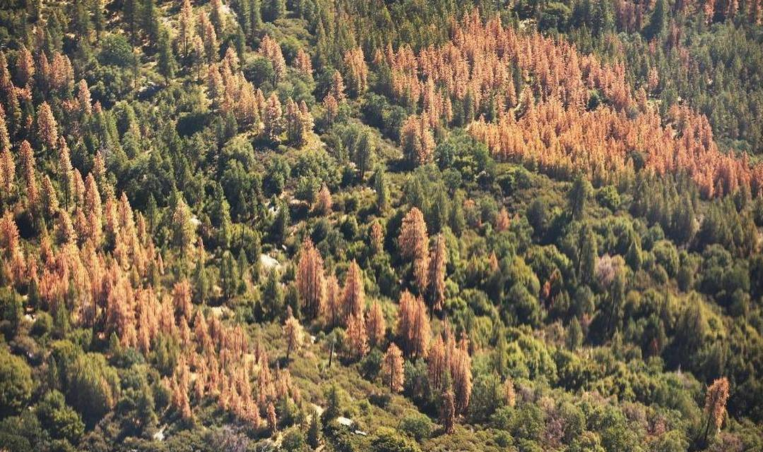 Editorial: California's great Sierra forests are dying. We all have a stake in saving them