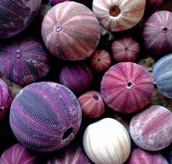 Purple Se Urchins - Decor-Mag Instagram